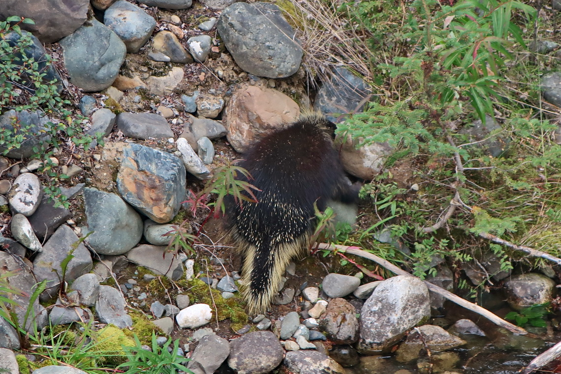 Porcupine close to the little Carcross Desert