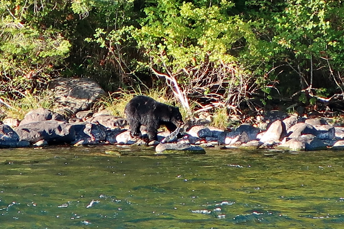 Black Bear with a Salmon in its mouth