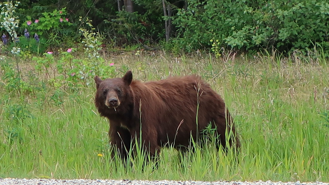 Brown Black Bear on Alaska Highway few kilometers north of Smith River Falls