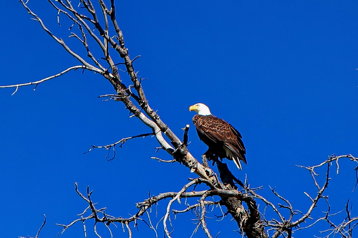 Bald Eagle in the Mammoth Hot Springs