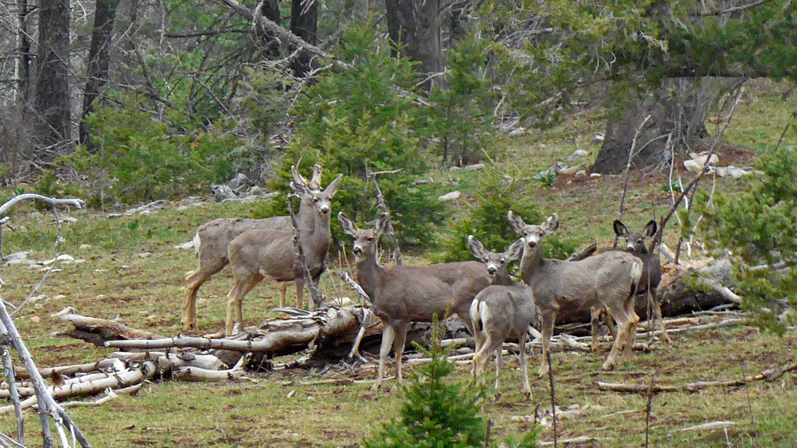 Deer in the Lincoln National Forest