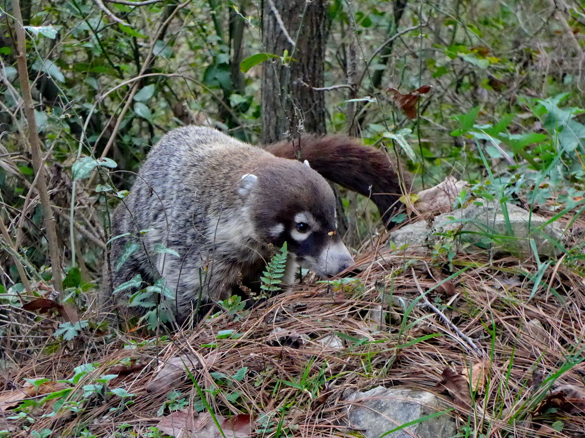 Coati looking for food