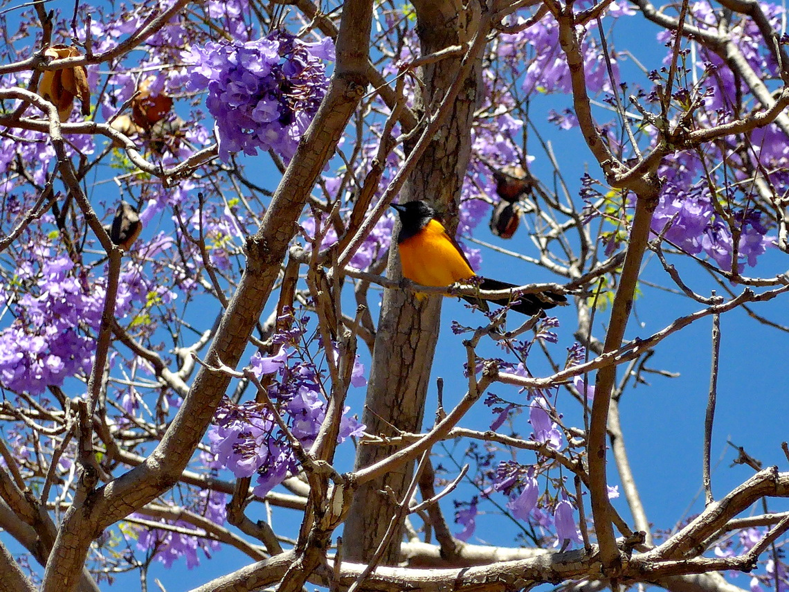 Nice bird in a purple tree on the way to the viewpoint