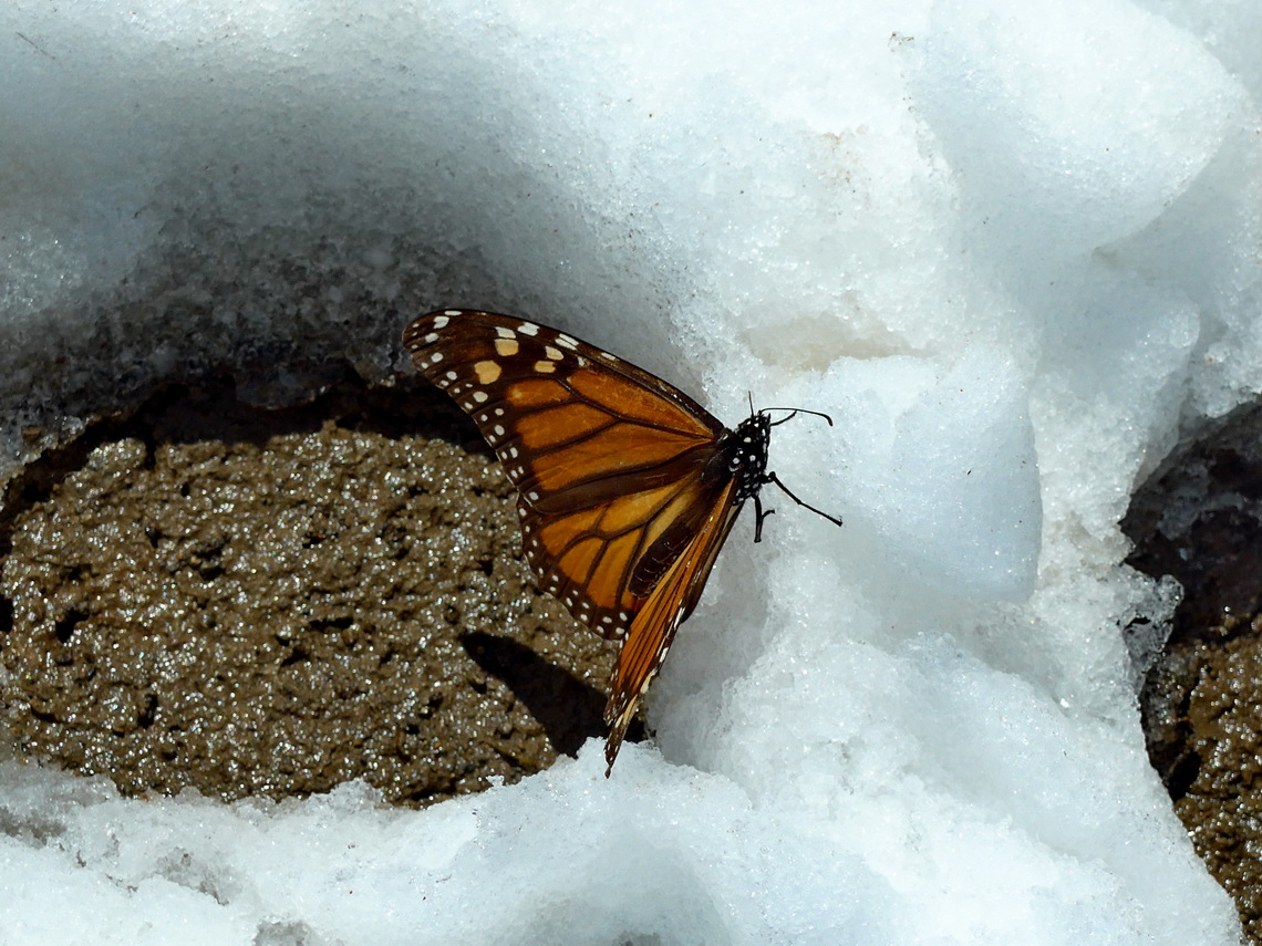 Monarch Butterfly in the snow