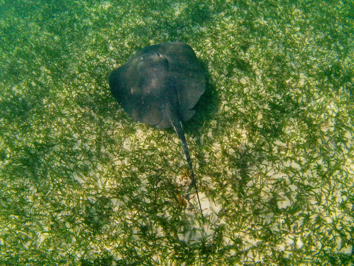 Rough Tail Sting Ray