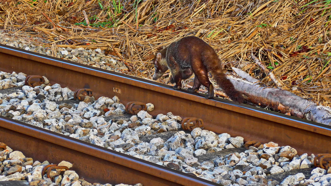 Coati on the rail parallel to the canal