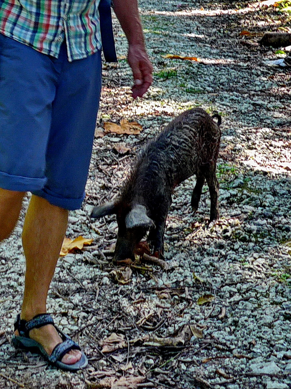 Young Peccary come with us on the way to Playa Bluff