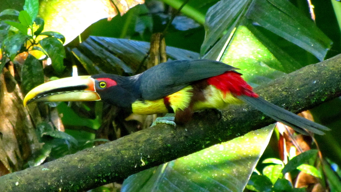 Black-red-yellow toucan