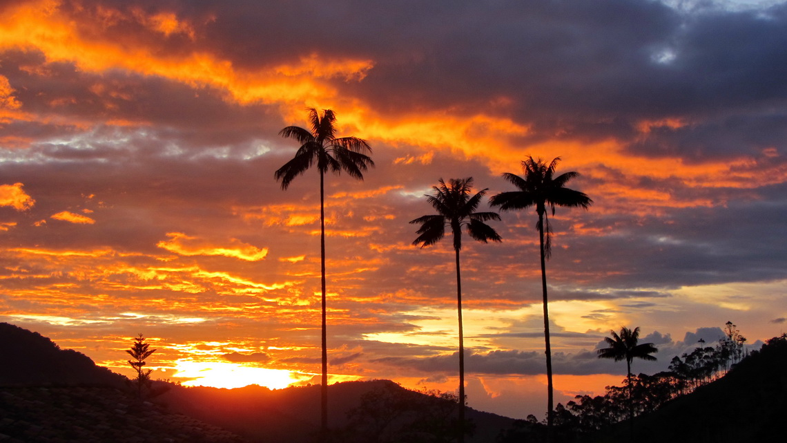 Sunset with wax palms, the national tree of Colombia and with up to 60 meters height the tallest palm on earth