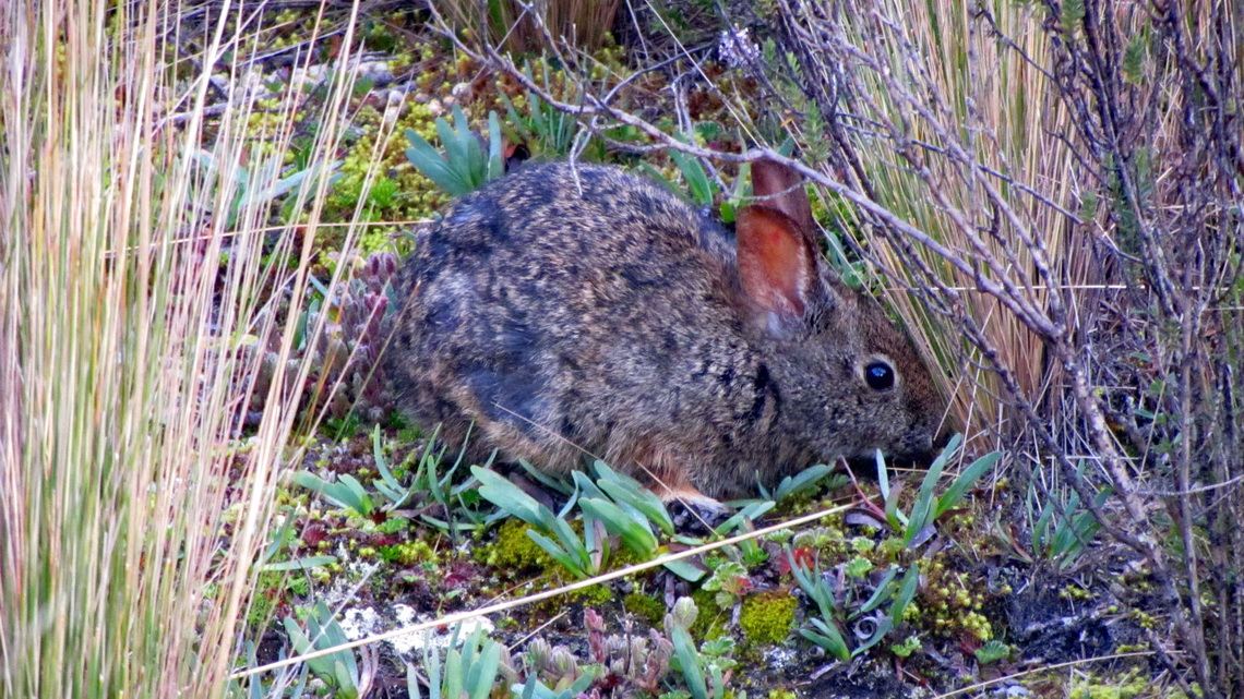 Rabbit on the way to Volcan Rumiñahui