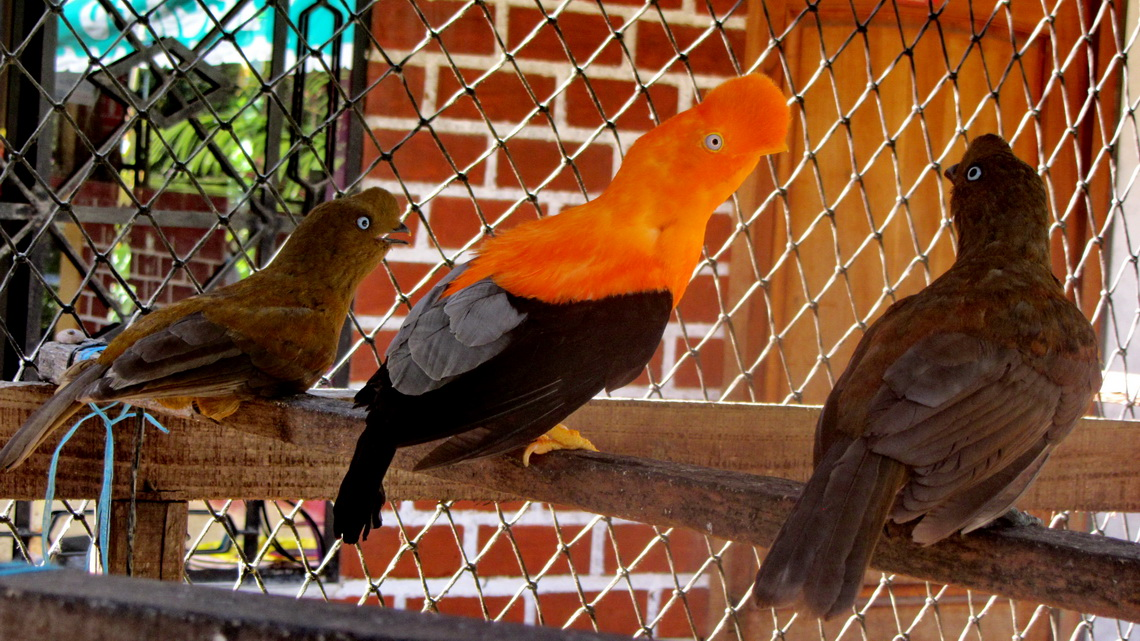 Orange headed bird with chick and wife?