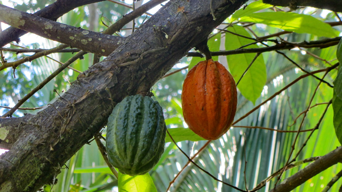 Two cocoa fruits in La Cabaña