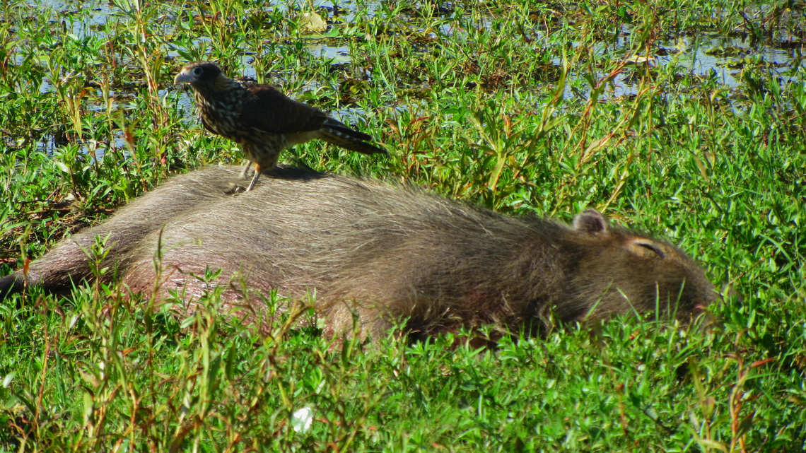 Lazy Capybara with Hawk