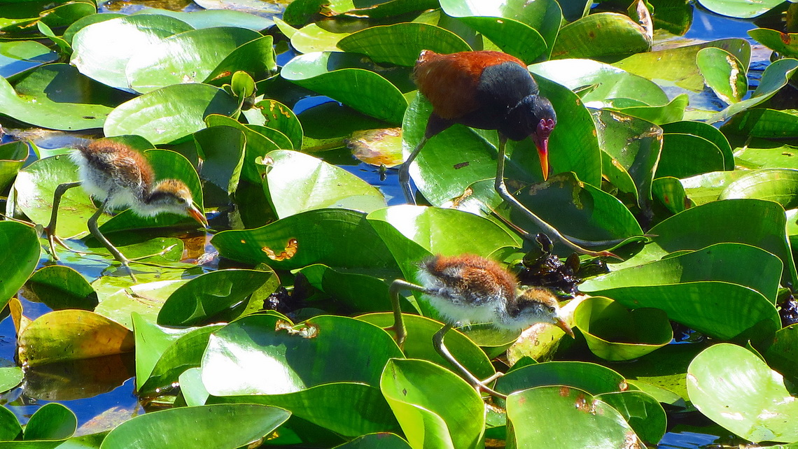 Wattled Jacana with two chickens