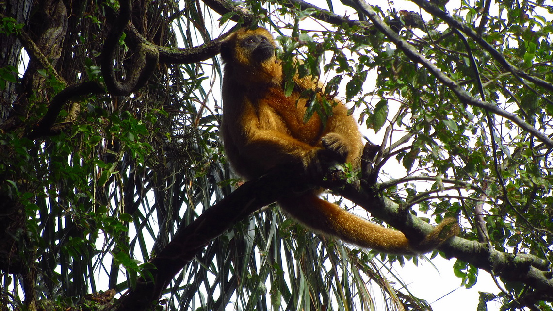 Howler Monkey, officially the noisiest animal on earth