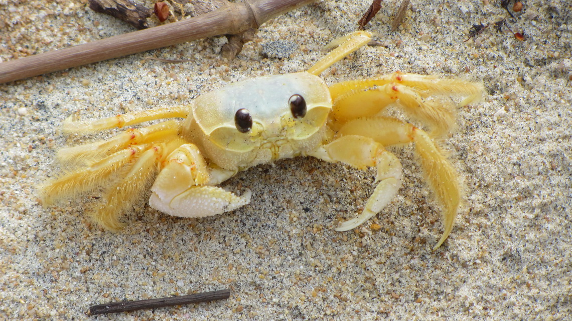 Crab an the beach Praia Triste