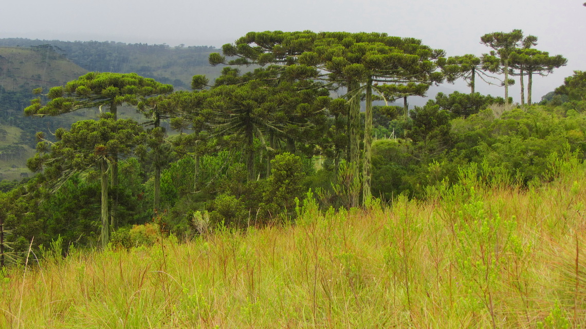 Araucaria trees close to Sao Joaquim