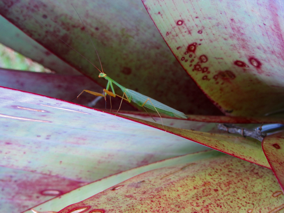5 cm long insect in a bromeliad