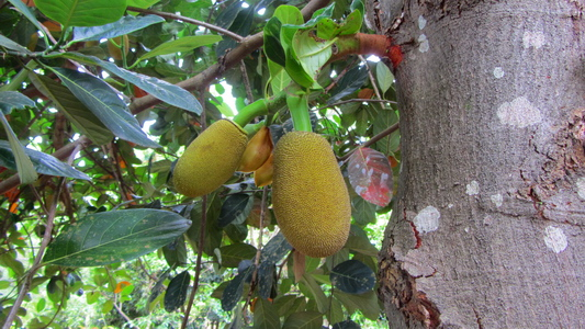 Huge Jack fruits in Samvara's garden