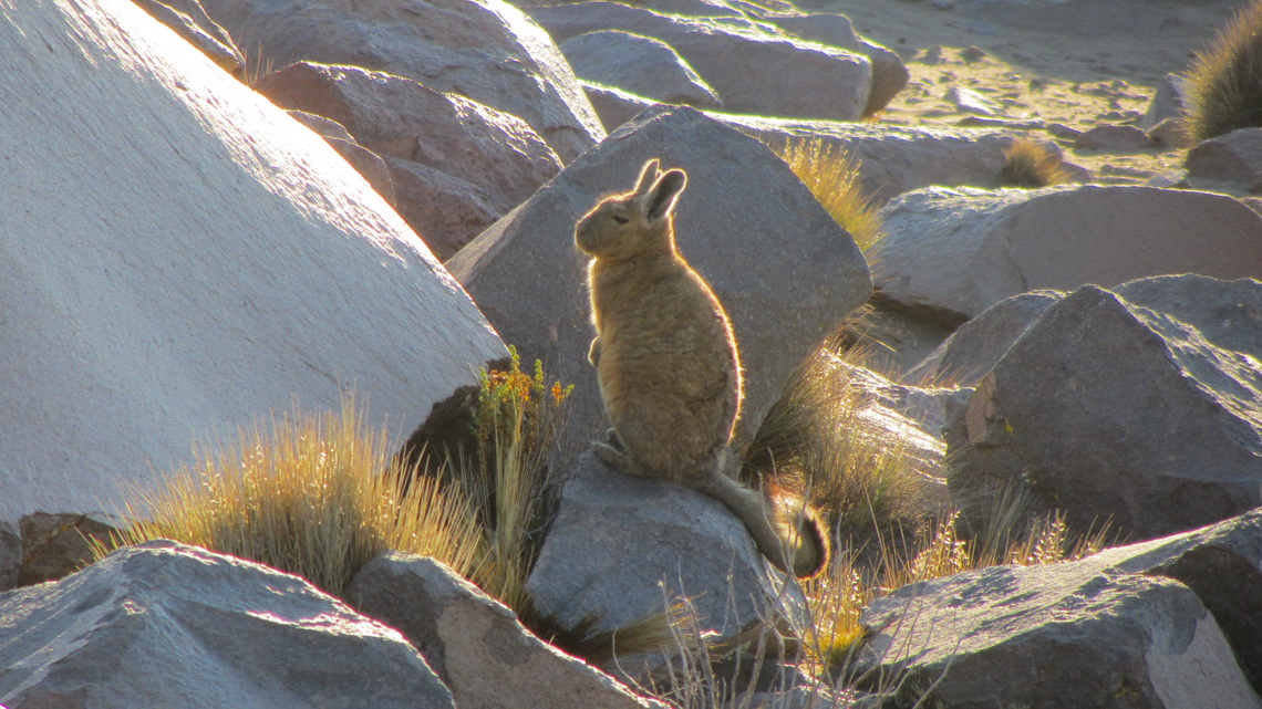 Vizcacha in Parinacota