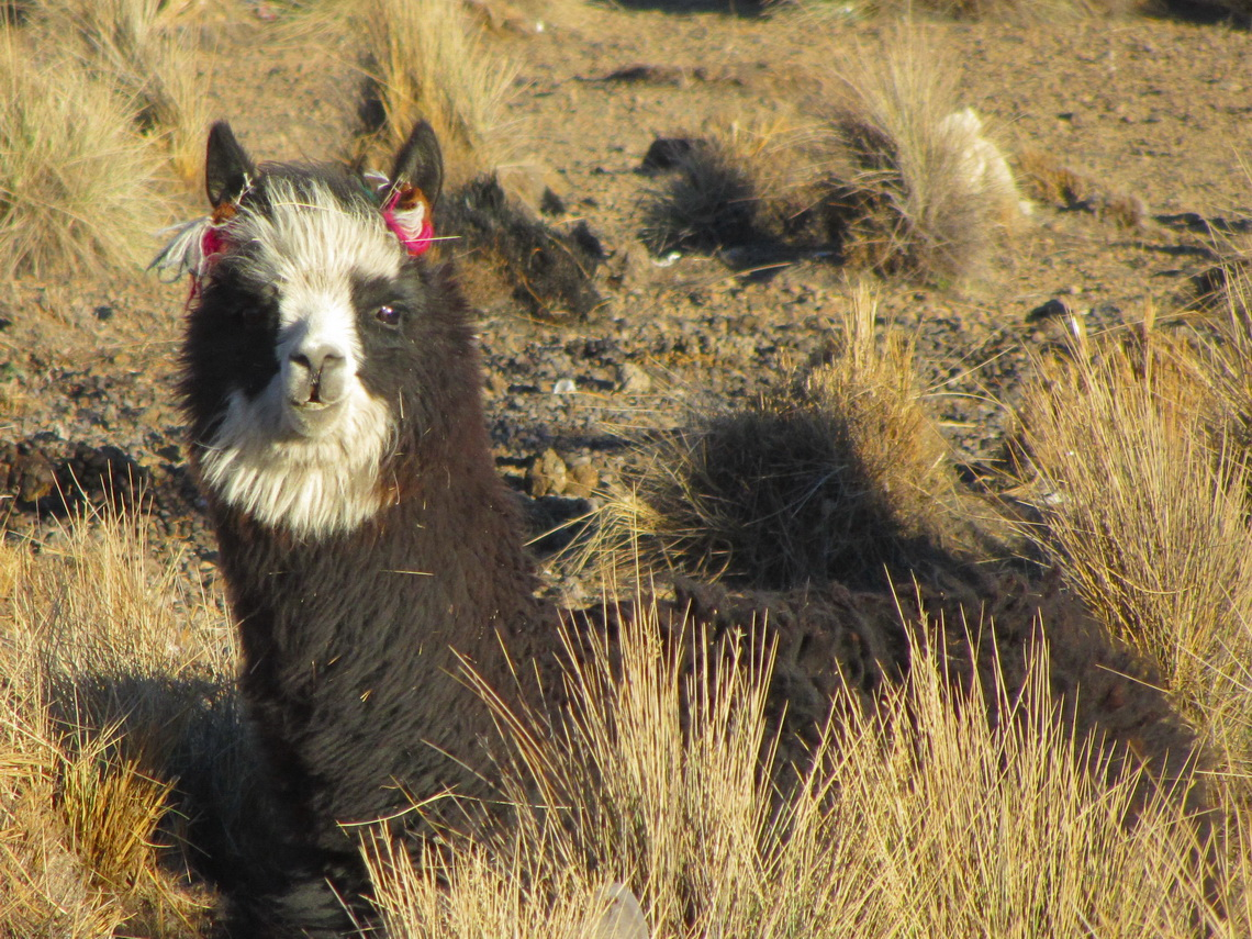 Alpaca in Sajama