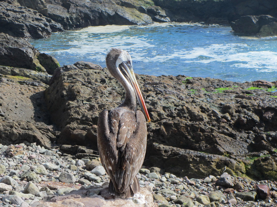 Pelican on the beach close to Iquique