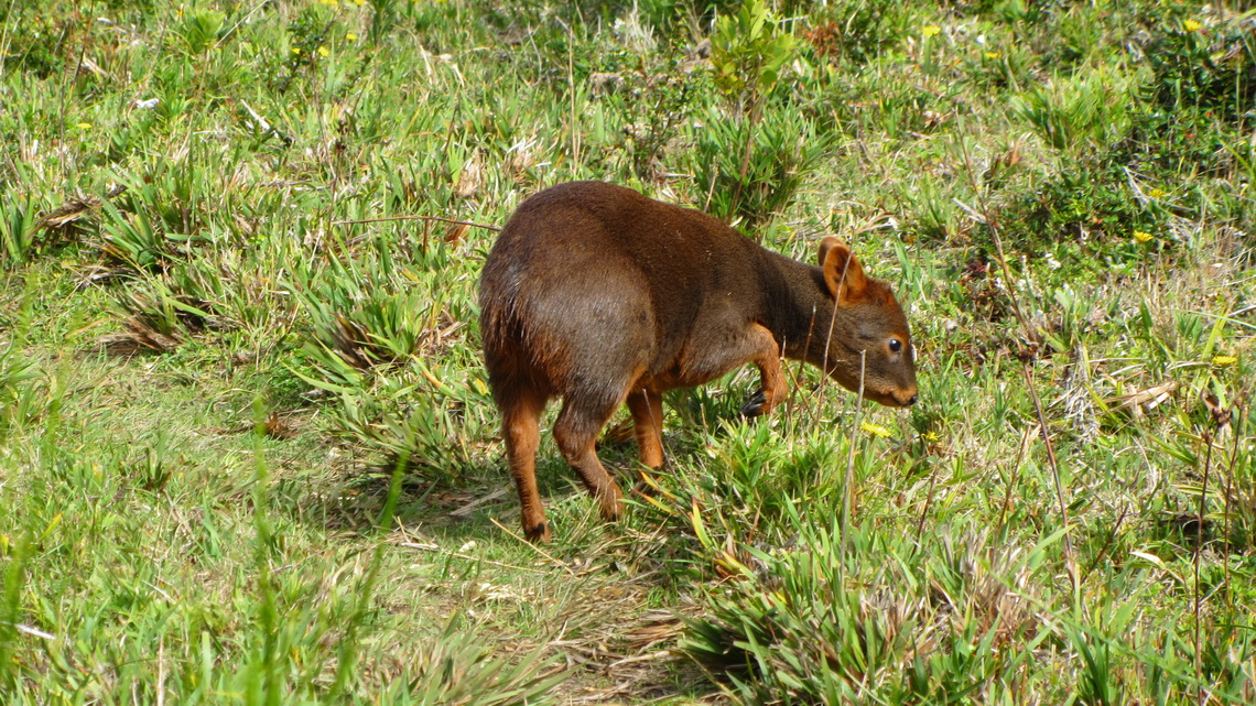 Pudu - Pudu, the smallest deer on earth close to the beach