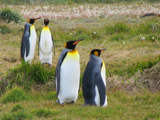Majestic King Penguins