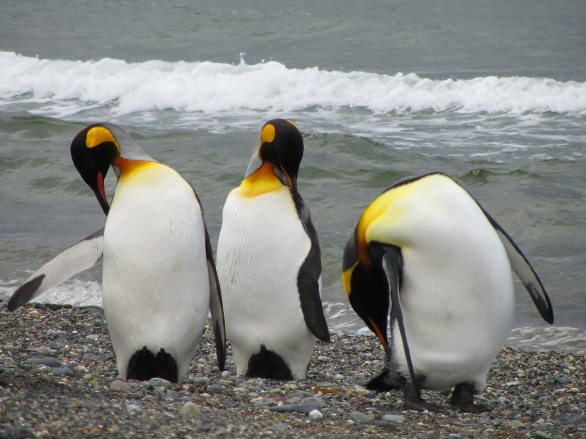 King Penguins on the beach