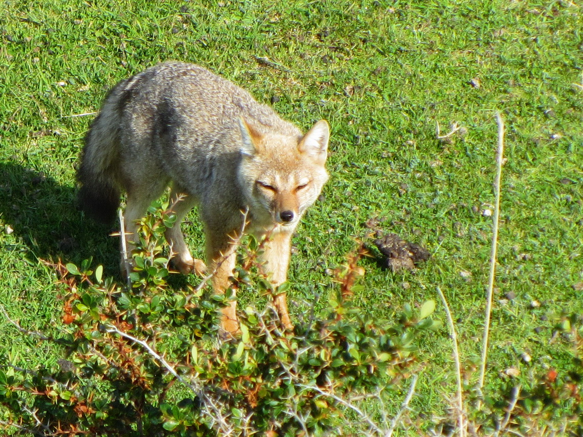 Bon appetit little Fuegian Fox