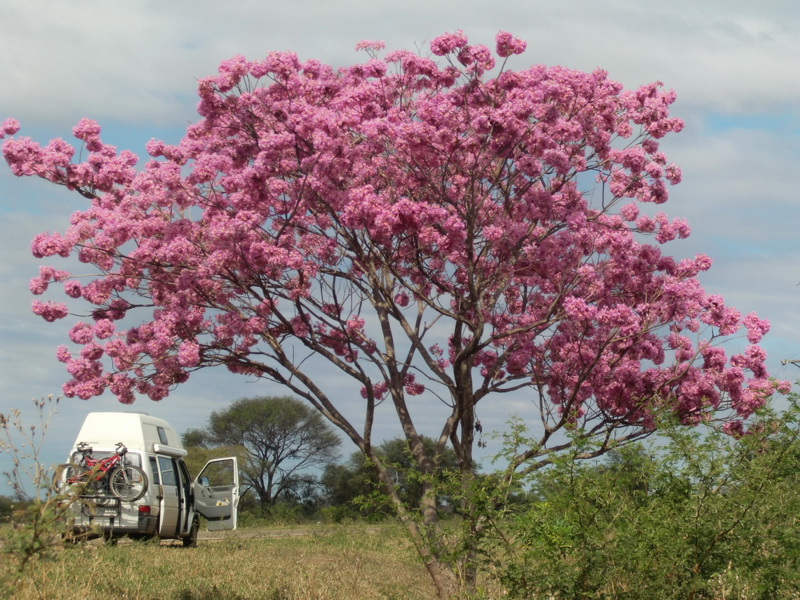 Tree in full blossom on the way to Argentina - in winter!