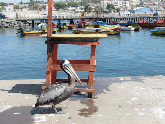 Pelican in the port of Caldera