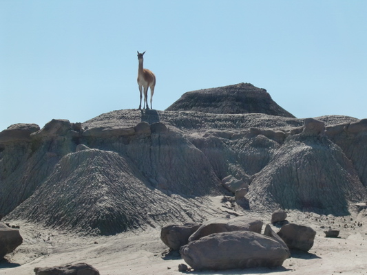 What does this Guanaco eat?