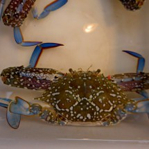 Crab with blue feet