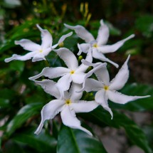 White flowers of Koh Chang