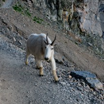 Fortunately we realized that this Mountain Goat was on the rocky part of the trail before we came to it