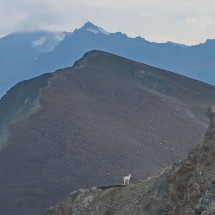Dall Sheep with southwest summit of Sheep Mountain (in the center)