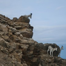 Dall Sheep in the rocks