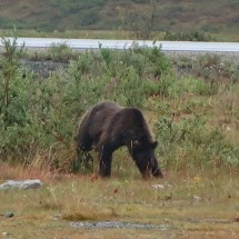 Lone Bear strolling around our car on Chuck Creek in the morning