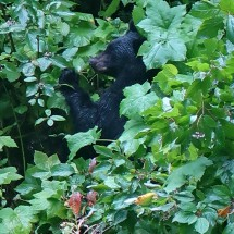 Black Bear collecting berries along Cassiar Gighway