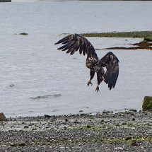 Younger Bald Eagle on the beach of Port Hardy close to the Visitor Center