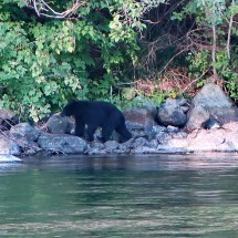 Searching Black Bear on Campbell River