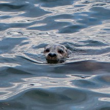 Curious Seal in the harbor of Nanaimo