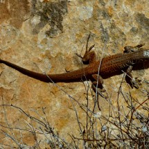 Dark brown Lizard