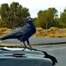 Raven on the parking lot of the Desert View Visitor Center