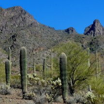 Saguaro Cactuses with steep Picacho Peak (on the right)