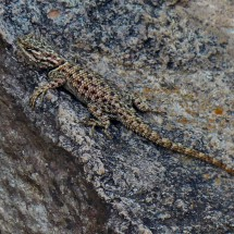 Lizard - good adapted to the rock!