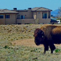 Bison in the eastern outskirts of Albuquerque