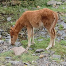 Half wild foal on the slope of the Cerro Arenales