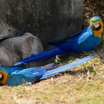 Two blue and yellow Macaws, angry that somebody bared their nest